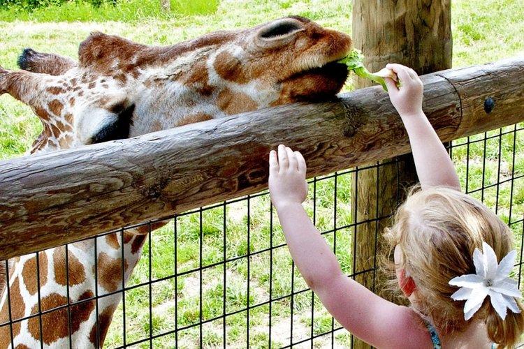 bé gái đi chơi sở thú, bé chơi với hươu cao cổ