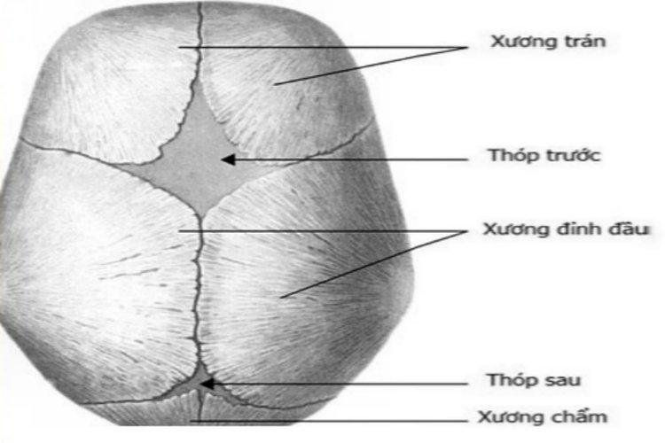 cấu tạo thóp của trẻ sơ sinh