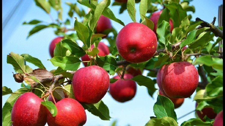 cây táo sai quả