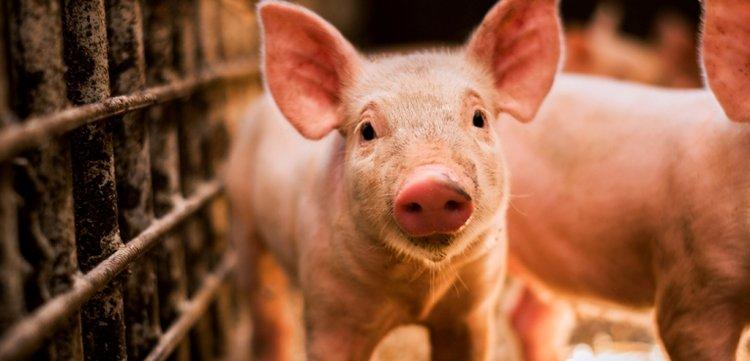 con heo, con lợn
