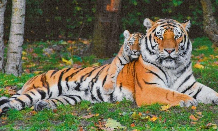 2 con hổ vằn