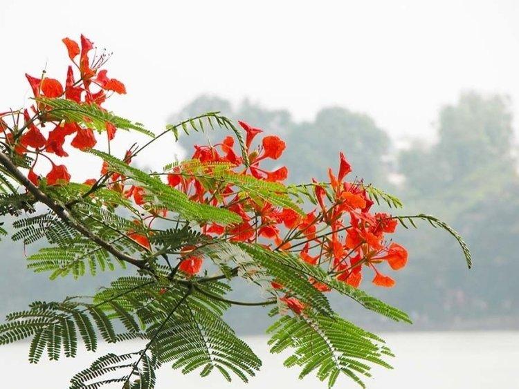 hoa phượng vỹ, hoa phượng đỏ, hoa phượng vĩ